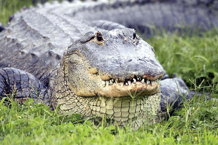 Gatorland Full Body Shot Of Gator